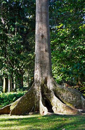 Tabular roots on tropical rainforest, Rio, Brazil