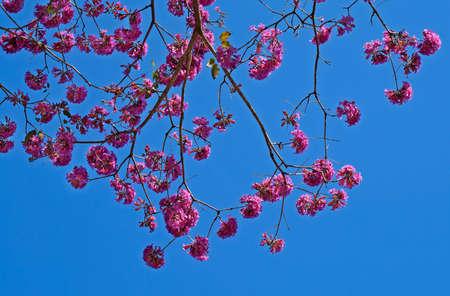Pink ipe or pink trumpet tree flowers, (Handroanthus impetiginosus), Rio de Janeiro, Brazil Archivio Fotografico