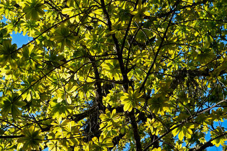 Cannonball tree (Couroupita guianensis) on tropical rain forest, Rio de Janeiro, Brazil