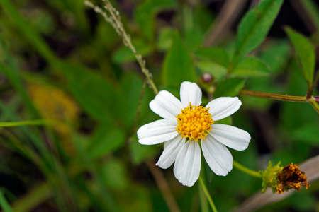 Spanish needle flower (Bidens alba)