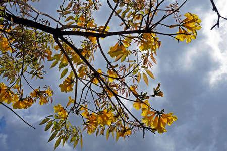 Golden trumpet tree or Yellow ipe tree (Handroanthus chrysotrichus), Rio de Janeiro, Brazil