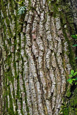 Yellow mombin or hog plum (Spondias mombin) tree trunk background