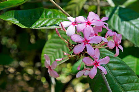 Shrub Vinca or Pink Gardenia (Kopsia fruticosa)