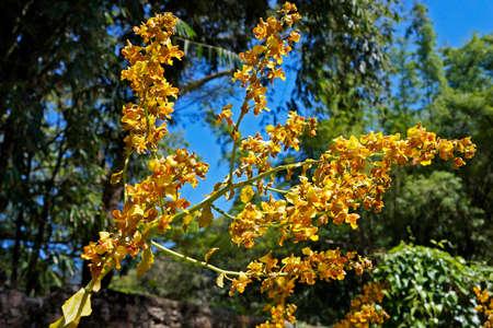 The gigantic cyrtopodium flowers (Cyrtopodium gigas), yellow orchid Archivio Fotografico