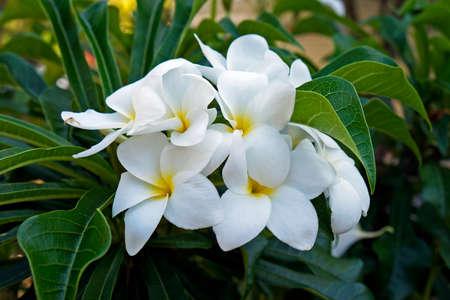 Bridal bouquet or Wild frangipani (Plumeria pudica)