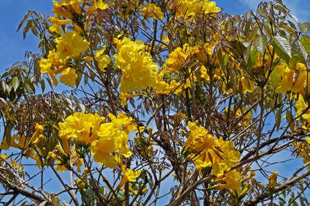 Golden trumpet tree flowers or Yellow ipe tree flowers (Handroanthus chrysotrichus), Rio de Janeiro, Brazil Archivio Fotografico