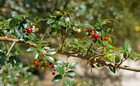 Red berries (Myrcia selloi), Rio, Brazil