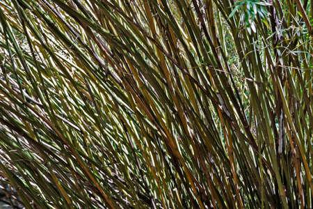 Bamboo forest (detail) at Rio, Brazil Archivio Fotografico