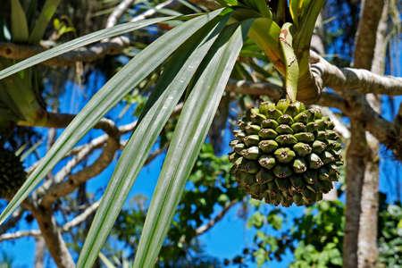 Common screwpine fruit (Pandanus utilis), Rio, Brazil