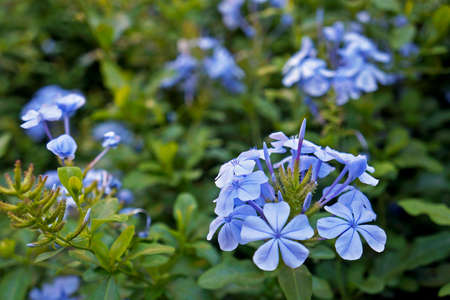 Cape leadwort flowers in the garden, Plumbago auriculata Archivio Fotografico