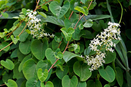 Wild white flowers on tropical rainforest