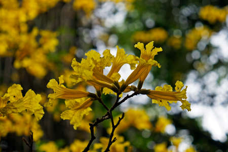 Golden trumpet tree or Yellow ipe tree (Handroanthus chrysotrichus) on tropical rain forest
