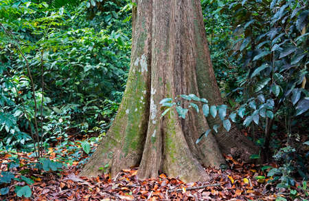 Tabular roots on tropical rainforest