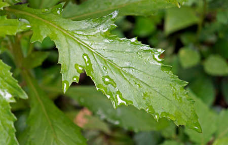 Weed leaf with morning dew. American burnweed (Erechtites hieracifolia). Archivio Fotografico