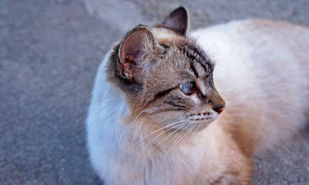 Domestic cat with blue eyes Archivio Fotografico
