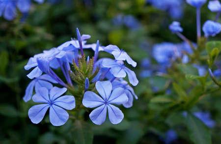 Cape leadwort flowers in the garden (Plumbago auriculata)
