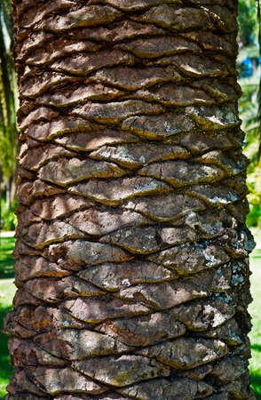 Date palm tree trunk, Minas Gerais, Brazil Archivio Fotografico