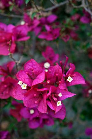 Pink bougainvillea flowers (Bougainvillea glabra), Tiradentes, Brazil