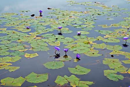 Lake with sacred blue lily flowers (Nymphaea caerulea)