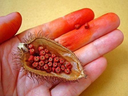 Achiote seeds (Bixa orellana) on hand, Rio, Brazil