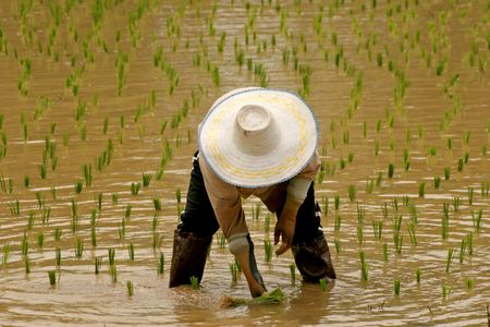 ricefield: Ricefarmer in asian ricefield Stock Photo
