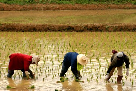 aliment: Rice farmers Stock Photo