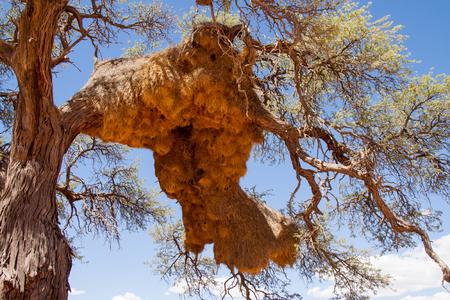 weaver bird: Giant Weaver Bird Nests in African Tree, Namibia Stock Photo