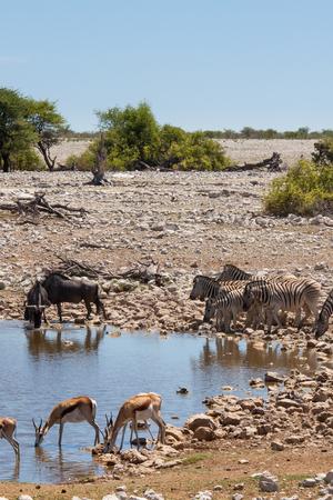 pozo de agua: Zebras, Springboks, Wildebeests at waterhole in Etosha National Park, Namibia Foto de archivo
