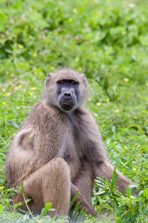 anubis: Baboon P. Anubis Sitting in the Grass Stock Photo
