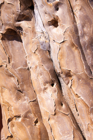quiver: Texture of Bark of Quiver Tree