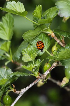 gooseberry bush: Ladybug Sitting on Gooseberry Bush