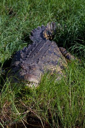 chobe national park: Crocodile in the Grass, Chobe National Park, Africa Stock Photo
