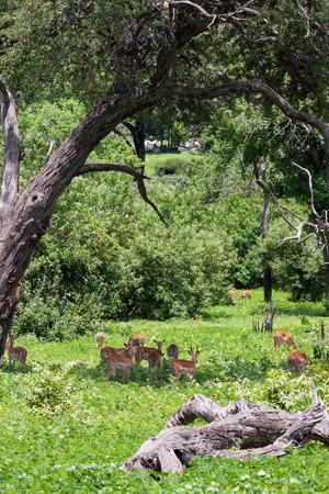 chobe national park: Herd of Blackfaced Impala in Chobe National Park, Botswana