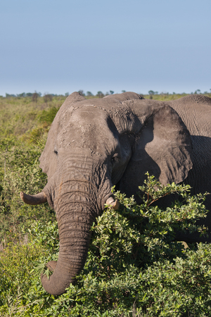 botswana: African Elephant in Savannah, Botswana Stock Photo