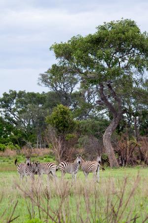 okavango delta: Herd of Zebras in Okavango Delta, Botswana