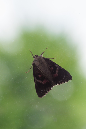 Light Crimson Underwing Moth sitting behind Window in front of Tree, Germany