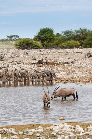Gemsboks and Zebras Drinking at Waterhole, Etosha National Park, Namibia Stock Photo