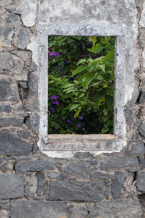 convolvulaceae: Looking at Morning Glories though window of Ruin, Italy Stock Photo