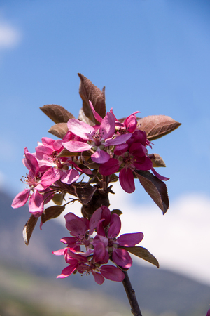 Close-Up of Apple Blossom, Italy, Europe