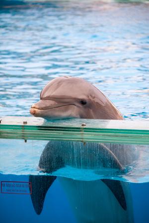 Smiling Bottlenose Dolphin (Tursiops) in Aquarium Stock Photo