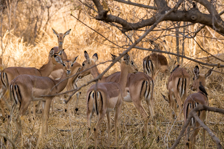 Herd of Impalas Hiding in Savannah of South Africa, Mapungubwe National Park, Africa Stock Photo