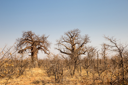 Two big Baobab Trees in Desert Landscape of Mapungubwe National Park, South Africa, Africa
