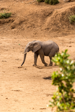 migrate: African Elephant walking in Dry River Bed, Kruger Park, South Africa, Africa Stock Photo