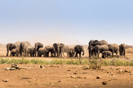 migrate: Herd of African Elephants Raising Dust in Savannah, Kruger Park, South Africa, Africa Stock Photo