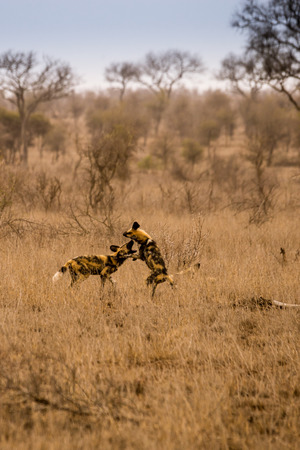 Two Young African Wild Dogs Playing in Savannah, Kruger, South Africa, Africa