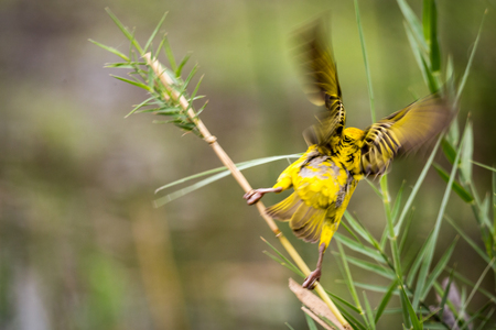 Southern Masked Weaver (Ploceus velatus) Starting to Fly, South Africa, Kruger Park Stock Photo