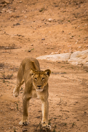 Leeuwin Kijkend naar de camera in het Kruger National Park, Zuid-Afrika, Afrika