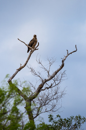 Tawny Eagle (Aquila rapax) Perching on a Tree, South Africa, Kruger Park Stock Photo