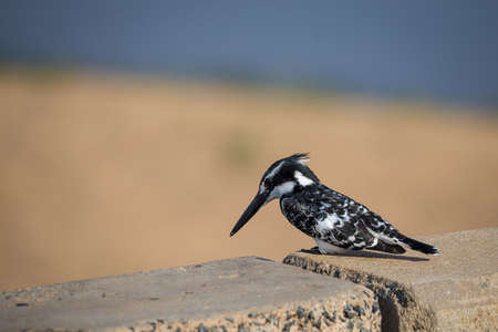 Pied Kingfisher (Ceryle rudis) sitting on a Wall, South Africa, Kruger Park