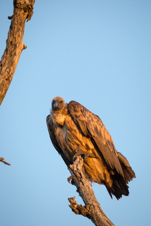 Cape Vulture (Gyps coprotheres;) Sitting on Dead Tree, South Africa, Kruger Park Stock Photo